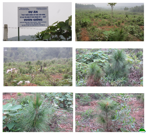 Pinus latteri nursery garden in Nghi Lam commune, Nghi Loc district, Nghe An province in December 2017